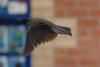 Grackle (Family: Icteridae) - Wiki
