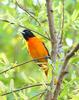 New World Oriole (Family: Icteridae, Genus: Icterus) - Wiki