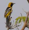 Orchard Oriole (Icterus spurius) Immature male