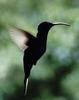 Hummingbirds in taxonomic order (Family: Trochilidae) - Wiki