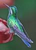 Purple-throated Mountain-gem Hummingbird (Lampornis calolaemus) - Wiki