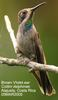 Brown Violet-ear Hummingbird (Colibri delphinae) - Wiki