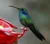 Green Violet-ear Hummingbird (Colibri thalassinus) - Wiki