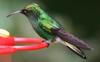 Coppery-headed Emerald Hummingbird (Elvira cupreiceps) - Wiki