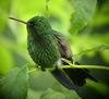 Copper-rumped Hummingbird (Amazilia tobaci) - Wiki