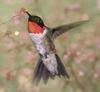 Ruby-throated Hummingbird (Archilochus colubris) - Wiki