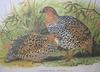 Painted Francolin (Francolinus pictus) - Wiki