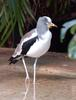 White-headed Plover (Vanellus albiceps) - Wiki