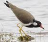 Red-wattled Lapwing (Vanellus indicus) - Wiki