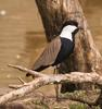 Spur-winged Plover (Vanellus spinosus) - Wiki