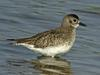 Grey Plover (Pluvialis squatarola) adult in winter plumage