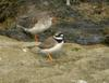 Ringed Plover (Charadrius hiaticula) with redshank
