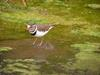 Three-banded Plover (Charadrius tricollaris) - Wiki
