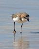 Red-capped Plover (Charadrius ruficapillus) - Wiki