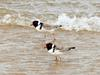 Hooded Plover (Thinornis rubricollis) - Wiki