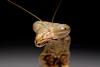 Praying Mantis (Order: Mantodea) - Wiki