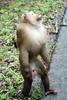Northern Pig-tailed Macaque (Macaca leonina) - Wiki