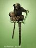 Buffy-tufted Marmoset (Callithrix aurita) - Wiki