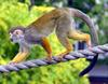 Common Squirrel Monkey (Saimiri sciureus) - Wiki