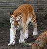 Golden Tabby (Golden Tiger) - Wiki