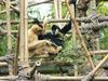 White-cheeked Crested Gibbon (Nomascus leucogenys) pair