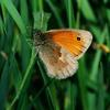 Small Heath Butterfly (Coenonympha pamphilus) - Wiki