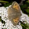 Meadow Brown Butterfly (Maniola jurtina) - Wiki