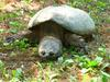 Common Snapping Turtle (Chelydra serpentina) - Wiki