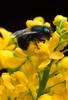 Blueberry Bee (Osmia ribifloris) - Wiki