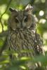Long-eared Owl (Asio otus) - Wiki