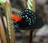 Coontie Hairstreak (Eumaeus atala) - Wiki