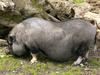 Pot-bellied Pig (Sus scrofa domestica) - Wiki