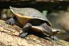 Red-bellied Short-necked Turtle (Emydura subglobosa) - Wiki