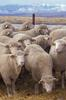 Domestic Sheep (Ovis aries) - Wiki