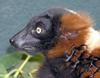 Red Ruffed Lemur (Varecia rubra) face