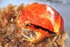 Tomato Frog (Family: Microhylidae, Genus: Dyscophus) - Wiki