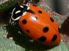 Convergent Lady Beetle (Hippodamia convergens) - Wiki