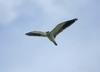 Black-winged Kite (Elanus caeruleus) in flight