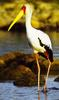 Yellow-billed Stork (Mycteria ibis) - Wiki