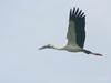 Asian Openbill Stork (Anastomus oscitans) flying
