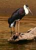 Woolly-necked Stork (Ciconia episcopus) - Wiki