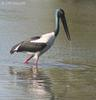 Black-necked Stork (Ephippiorhynchus asiaticus) female
