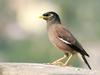 Common Myna (Acridotheres tristis), India