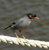 Bank Myna (Acridotheres ginginianus) - Wiki