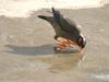 Bank Myna (Acridotheres ginginianus) drinking water