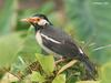 Asian Pied Starling (Sturnus contra) - Wiki