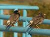 White-cheeked Starling (Sturnus cineraceus) - Wiki