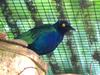 Purple Glossy-starling (Lamprotornis purpureus) - Wiki