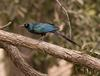 Long-tailed Glossy-starling (Lamprotornis caudatus) - Wiki