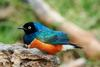 Superb Starling (Lamprotornis superbus) - Wiki
